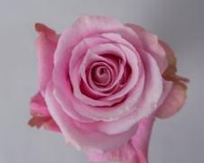 Роза ALL 4 PASSION