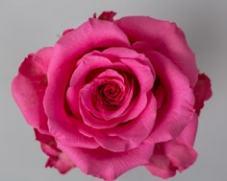 Роза BALLET