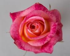 Роза BIG FUN