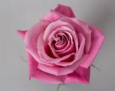 Роза BLUSHING ESCIMO