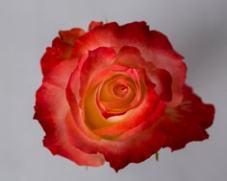 Роза CABARET