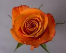 Роза CONFIDENCE