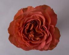 Роза CORAL XPRESSION