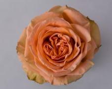 Роза COUNTRY HOME