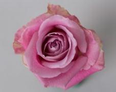 Роза FAITH