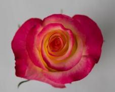 Роза FRENCH QUIZ