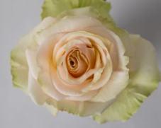 Роза GHOBI