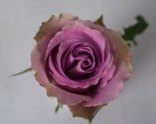 Роза GREY KNIGHTS