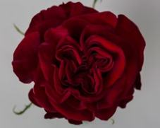 Роза HEARTS