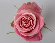 Роза HERMOSA