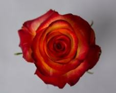 Роза HIGH & MAGIC