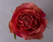 Роза HOT CARPE DIEM
