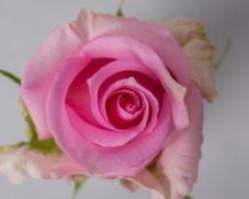 Роза JESSIKA