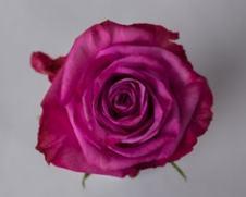 Роза MOODY BLUES