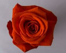 Роза NINA