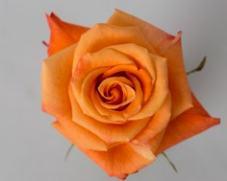 Роза ORANGE UNIQUE