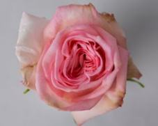 Роза PINK O'HARA