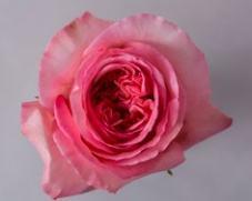 Роза PINK XPRESSION