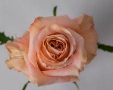 Роза Шиммер