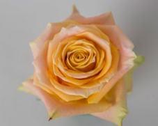 Роза Шукрани