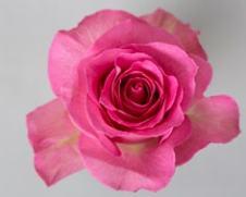 Роза Свит Юник