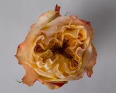 Роза Свит Экспрессион