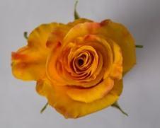 Роза Тюсон